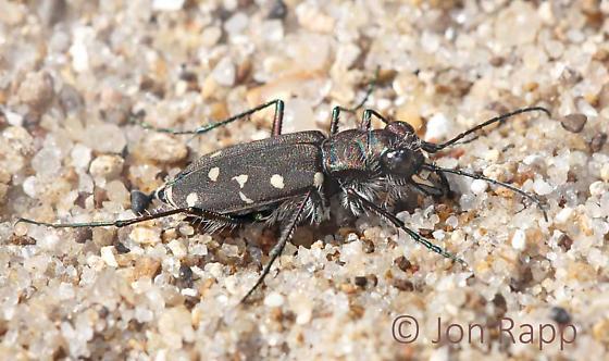 Tiger Beetle - maybe Twelve-spotted - Cicindela duodecimguttata