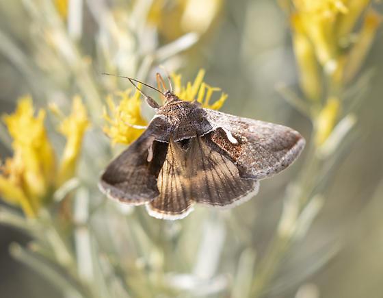 Fall moth - Anagrapha falcifera