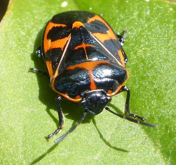 Beetle - Murgantia histrionica