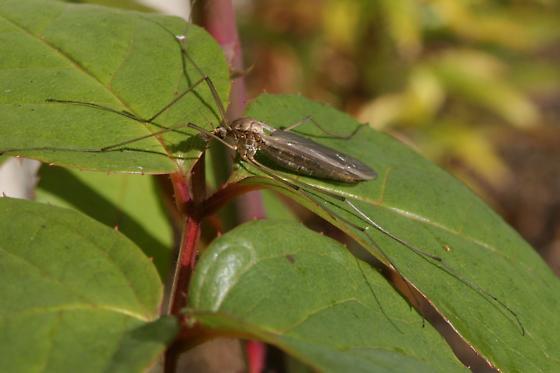 Marsh Crane Fly - Tipula oleracea