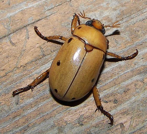 Gold Colored Beetle - Pelidnota punctata