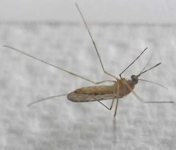 Northern House Mosquito - Culex pipiens