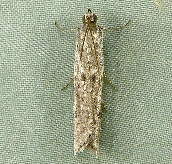 Homoeosoma stypticella 5936 - Homoeosoma stypticella