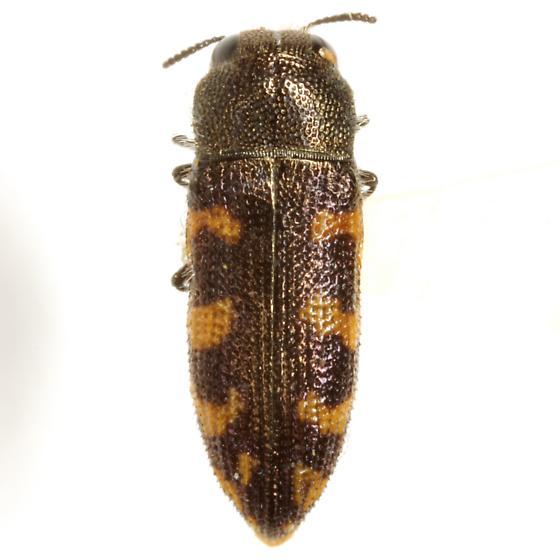 Acmaeodera texana LeConte - Acmaeodera texana