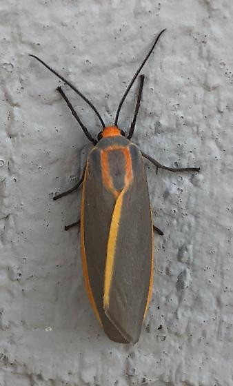 Lichen moth? - Pygarctia abdominalis