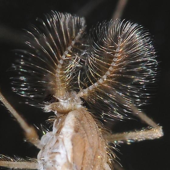 Hairs - Chaoborus flavicans - male
