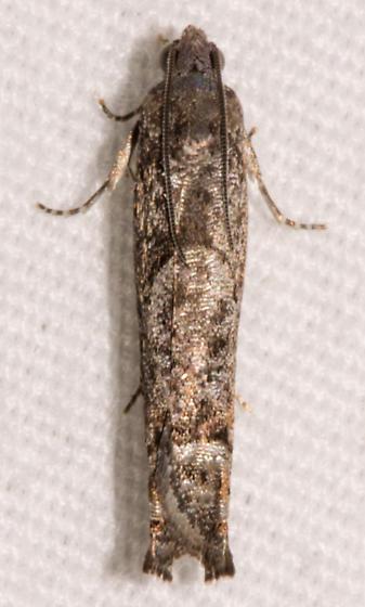 moth0413152 - Pseudexentera