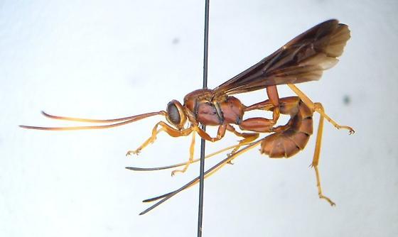 Ichneumon 01 - Labena grallator - female
