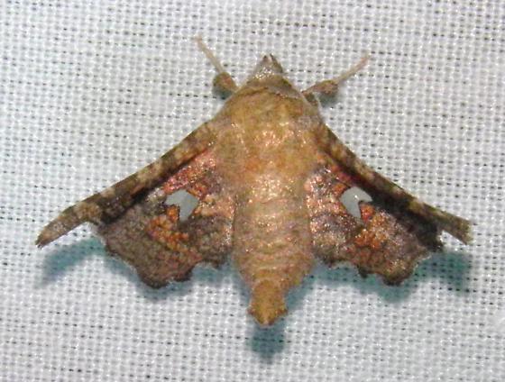 Moth - Dysodia granulata