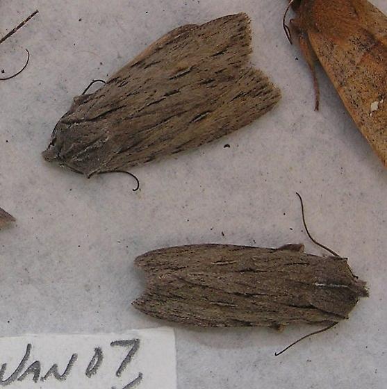 Lithophane lemmeri from the NJ pine barrens - Lithophane lemmeri