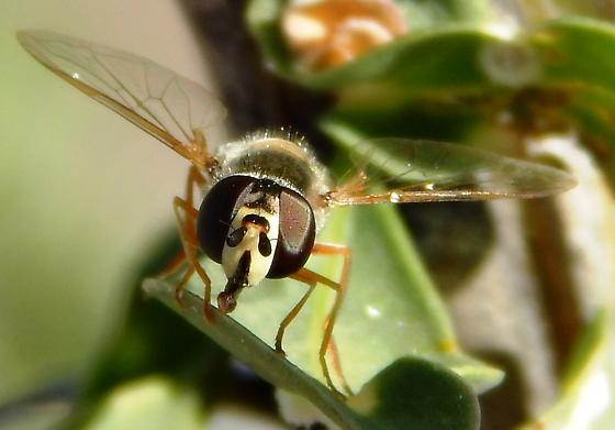 Syrphid fly on Ocotillo plant - Eupeodes volucris