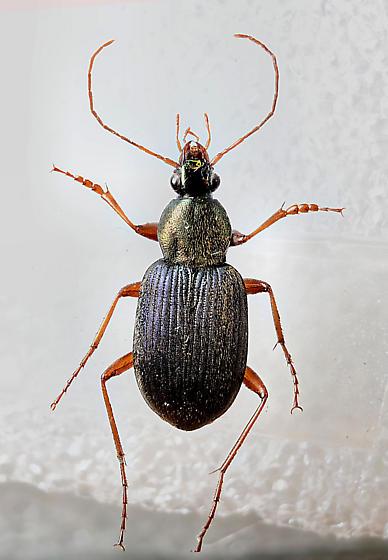 Beautiful Carabid - Chlaenius tricolor - male