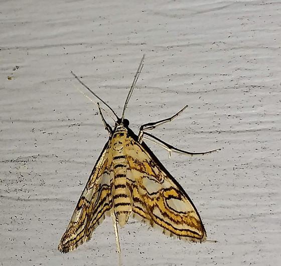 Nymphula Moth, Elophila ekthlipsis - Elophila ekthlipsis