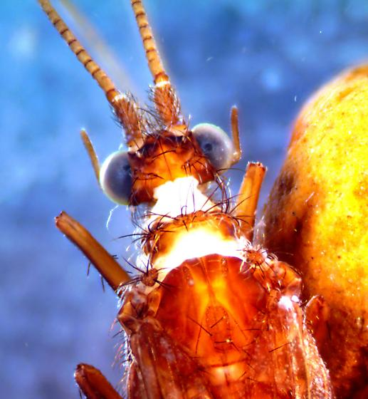 Neophylax - Neophylax rickeri - male