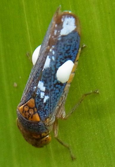 Leafhopper With White Blotches - Oncometopia orbona