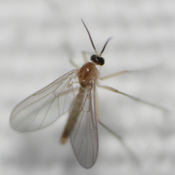 Dipteran 30 - Diadocidia ferruginosa