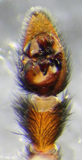 Pardosa hyperborea--voucher image - Pardosa hyperborea - male