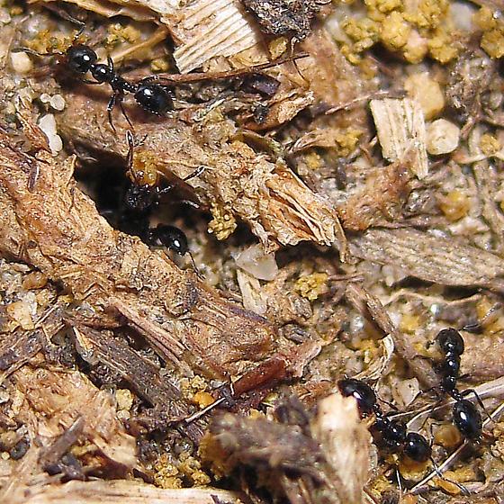 Tiny shiny and black ants - Monomorium minimum