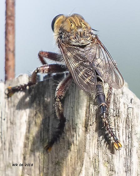 Robber Fly - female