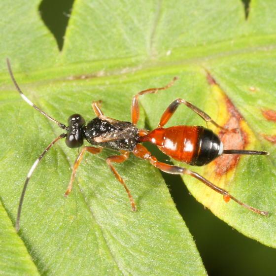 Gelis? - Agrothereutes abbreviatus - female