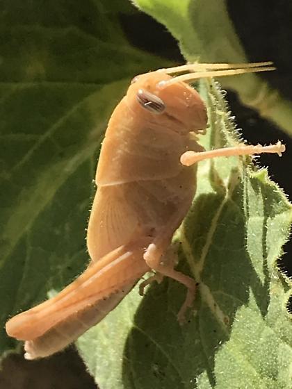 Grasshopper I'd in Southern California? - Schistocerca