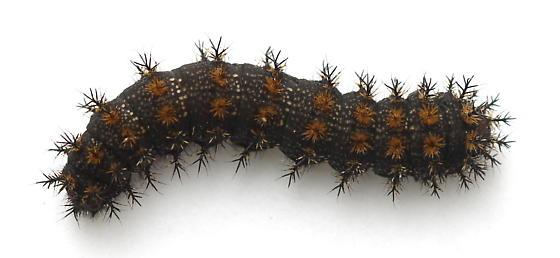 Hemileuca lucina