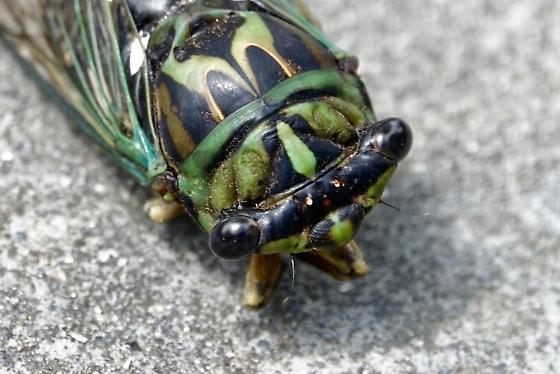 Linne's Cicada Neotibicen linnei? - Neotibicen robinsonianus