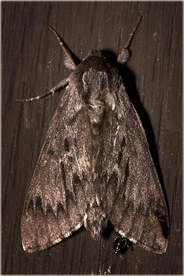 7817, Northern Pine Sphinx, Lapara bombycoides - Lapara bombycoides