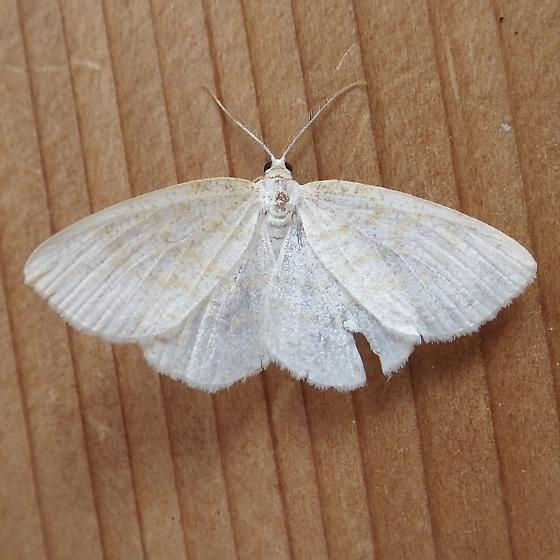 Geometridae: Cabera erythemaria - Cabera erythemaria - male
