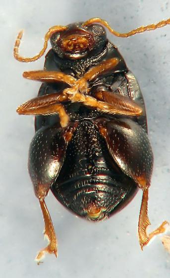 tiny jumper - Chaetocnema confinis