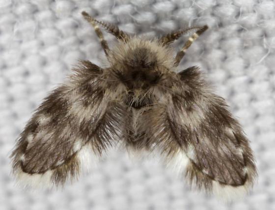 Psychodidae IMG_0948 - Clytocerus