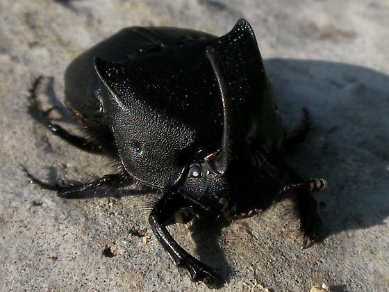 ç - Phanaeus triangularis
