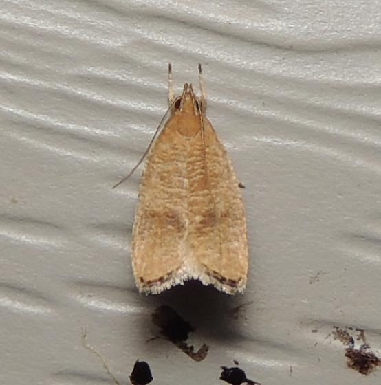 brown moth - Psilocorsis cryptolechiella