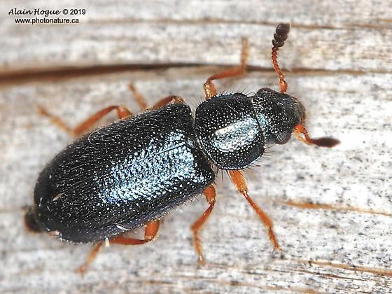 Coleoptera - Necrobia rufipes
