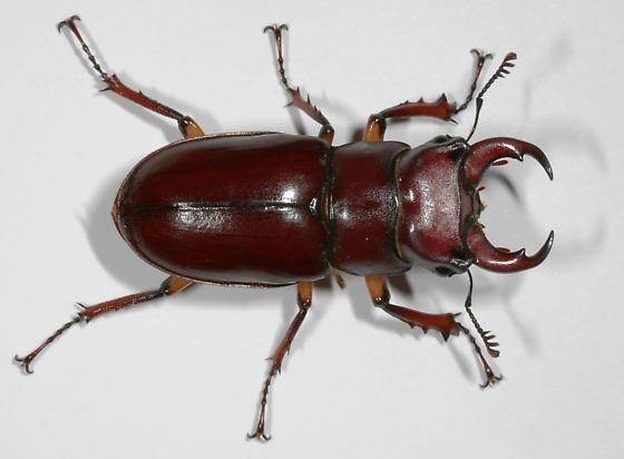Reddish-brown Stag Beetle--habitus - Lucanus capreolus - male
