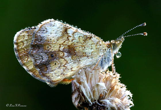 It pays to get up early!  This dewey Moth is so pretty! - Phyciodes tharos
