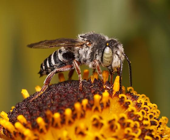 Cuckoo leaf cutter bee (Coelioxys sp.)? - Coelioxys