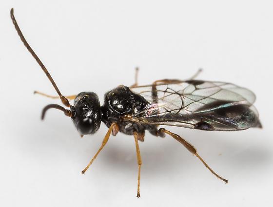 Wasp - Helorus - female