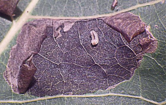 Poplar Blackmine Beetle? - Isochnus sequensi