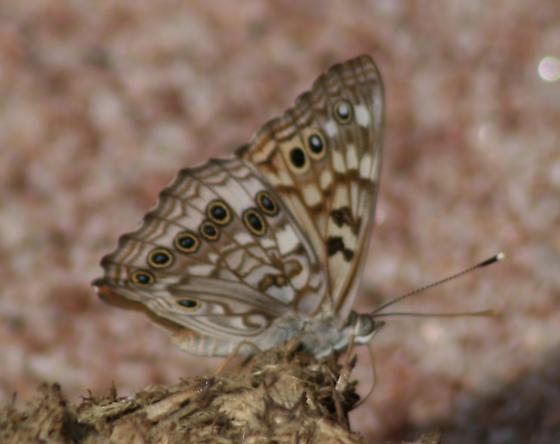 Butterfly on scat - Asterocampa celtis - male