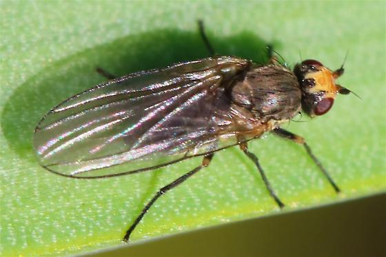Chloropid fly? - Phytomyza gymnostoma