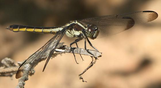 Brown and yellow dragonfly - Libellula incesta - female