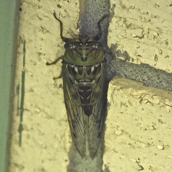 Western Dusk Singing Cicada - Megatibicen resh