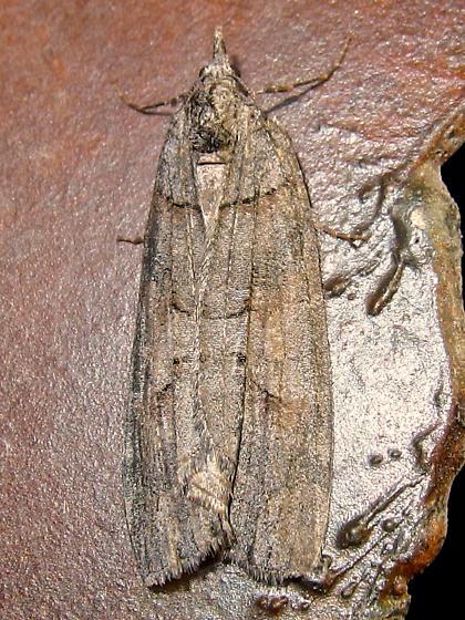 unknown moth - Cyclica frondaria