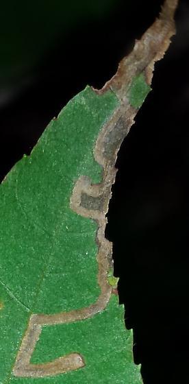 Carya mine - Stigmella undescribed-species-on-carya
