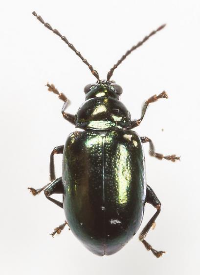 Beetle - Altica chalybea - male