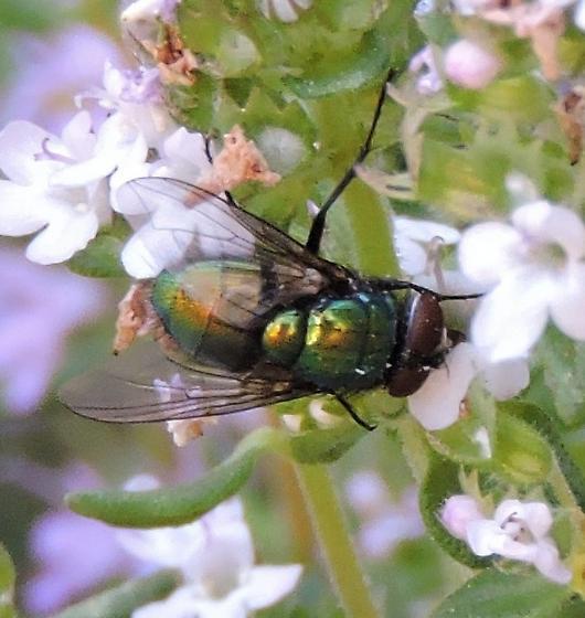 Calliphora vomitoria (?) - Lucilia - male
