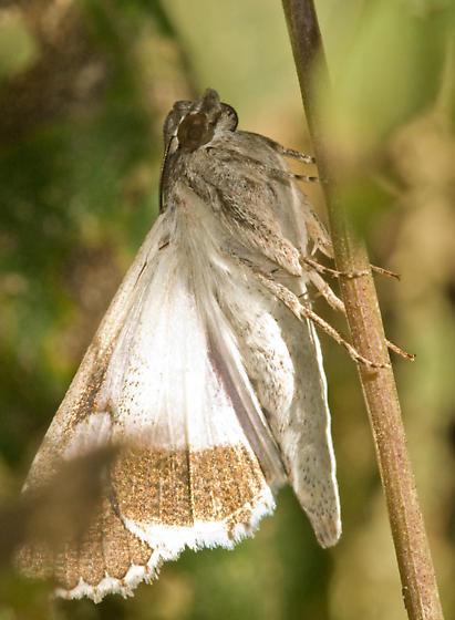 moth - Melipotis