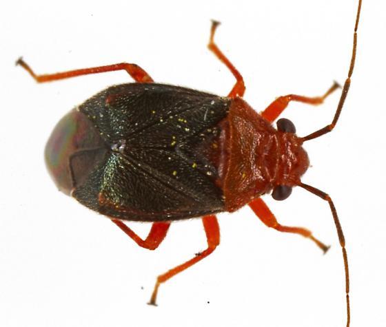 Yucca Plant Bug? - Halticotoma valida