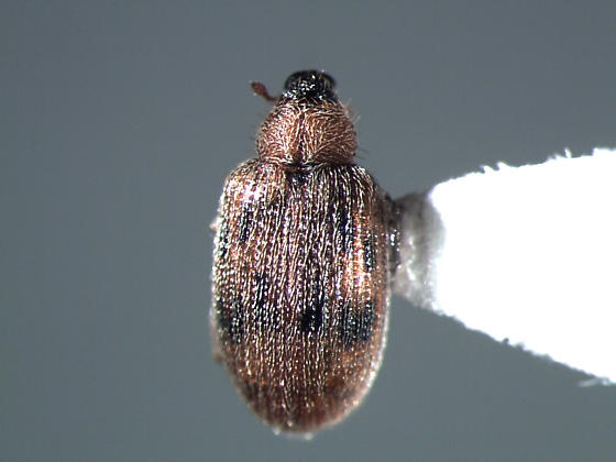 Beach weevil - Orchestes steppensis